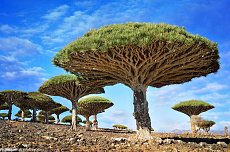 Click image for larger version.  Name:dragon-blood-trees.jpg Views:0 Size:197.1 KB ID:7201